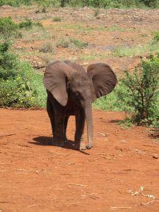 Nairobi Kenya Elephant