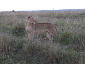 Nairobi Kenya Lion