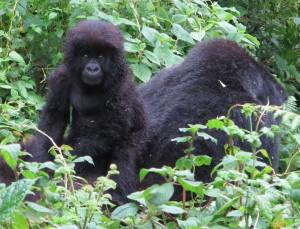 Volcano National Park Rwanda Baby Gorilla