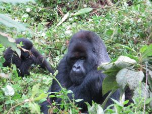 Volcano National Park Rwanda Silverback Gorilla