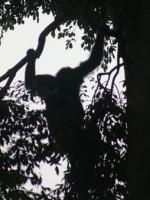 Rwanda Nyungwe Chimp 1