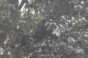 Rwanda Nyungwe Chimp 2