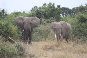 Uganda Queen Elizabeth II Big Elephants