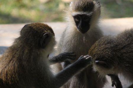 Uganda Vevet Monkey Chat Lake Nkuruma