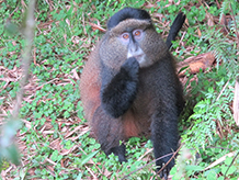 Golden Monkey Trek