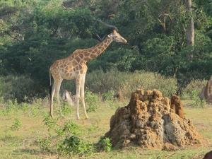 UWEC Giraffe