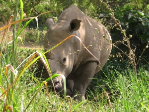 UWEC Rhino
