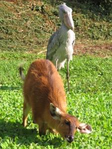 UWEC Shoebill